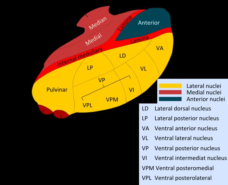 The-Nuclei-of-Thalamus